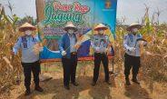 WBP Produktif, Lapas Gunung Sugih Lamteng Panen Jagung Di Lahan Pembinaan